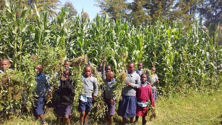 Corn Crop in Kenya